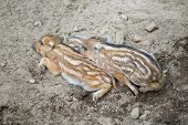 image of razorback  - Cute baby boars  resting on the ground - JPG