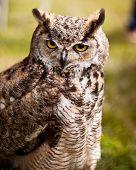 Owl with long ears
