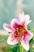 Blooming Lily Flower In Sunlight Garden