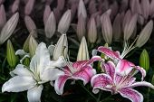 White And Pink Lily Flower