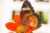 Постер, плакат: Мужской Leopard посвящённых бабочка