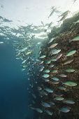 Shoal Of Red Sea Fusiliers On A Reef