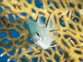 stock photo of damselfish  - Closeup of a pale damselfish on tropical coral reef underwater - JPG