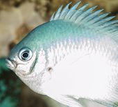 image of damselfish  - Closeup of a pale damselfish on tropical coral reef underwater - JPG