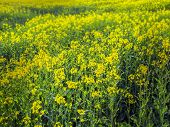 pic of biogas  - Yellow rape field plant for bio gas production - JPG