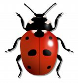 pic of creepy crawlies  - Illustration of a large Ladybird isolated on white - JPG