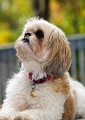 Shih tzu Dog Looking Up for Inspiration