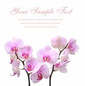 pic of floral bouquet  - photo of pink orchid flower on a white background - JPG