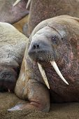 image of sea cow  - Walrus rookery - JPG