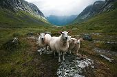 Flock Of Sheep. Scandinavia,