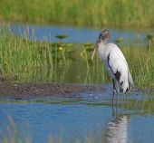 image of stork  - Wood stork standing in swampy lake Fort Myers Florida - JPG