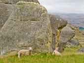 Sheep on a mountain pasture between granite rocks