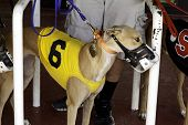 stock photo of greyhounds  - A greyhound dog ready for a dog race - JPG