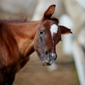 stock photo of foal  - Portrait of a brown foal - JPG