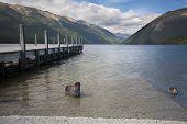 Постер, плакат: Черный лебедь утки и причал на озере Rotoiti Тасман Новая Зеландия