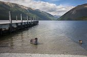 Black Swan, Duck And Jetty On Lake Rotoiti, Tasman, New Zealand