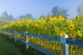 Sunflowers During An Early Morning Fog.