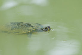 picture of cooter  - Turtle  - JPG