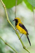 Yellow - Tailed Oriole