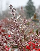 Ice storm and plants