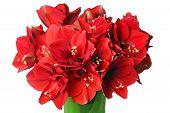 Big Beautiful Bouquet Of Red Amaryllis