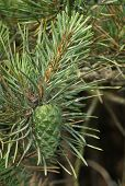 image of pinus  - Scots Pine Tree - Pinus sylvestris