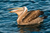 peruvian pelican swallowing fish in the peruvian coast at Piura Peru