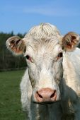 image of charolais  - delightful charolais cow - JPG