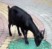 Black Goat.