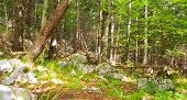 Forest, Slovenian Julian Alps