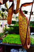 stock photo of nepenthes  - Nepenthes Leopard showcase for agriculture in Thailand