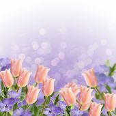 Postcard With Fresh Flowers Tulips And Periwinkle  And Empty  Place For Your Text