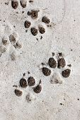 Footprints Of Dog.