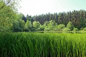 foto of horsetail  - Small lake overgrown with shrubs and horsetail