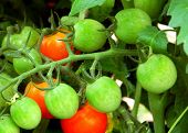 stock photo of plum tomato  - This limb of the tomato plant is filled with more than a dozen ripe and not yet ripe plum tomatoes - JPG