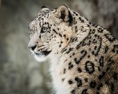 stock photo of snow-leopard  - Profile portrait of a Snow Leopard Male - JPG