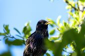 Starling Sitting On A Tree