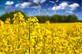 Rapeseed Field And Wind Power Plants On A Sunny Day. Ecology & Nature Landscape.