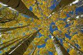 Árboles de álamo temblón