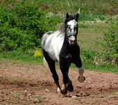 Thunder A Beautiful Percheron Horse