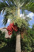 Betel-nut Palm