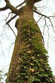 A Poplar Tree
