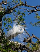 Great Egret Displays Plumage