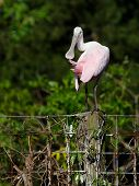 Preening Spoonbill On Fence