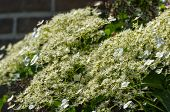 Flowering Climbing Hydrangea From Close