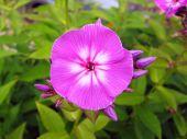 Rose phlox