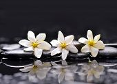 picture of gardenia  - Three gardenia flower on pebbles  - JPG