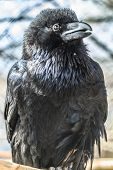 stock photo of caw  - Close up portrait of a Common raven - JPG