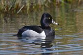 Closeup Ring-necked Duck