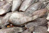 Salted Gourami Fish